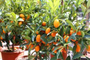 Уход за цитрусовыми растениями