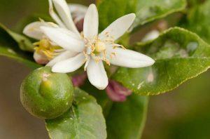 Будут ли цитрусовые растения плодоносить?