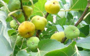 Инжир Белый Адриатический - лучший сорт для выращивания в открытом грунте