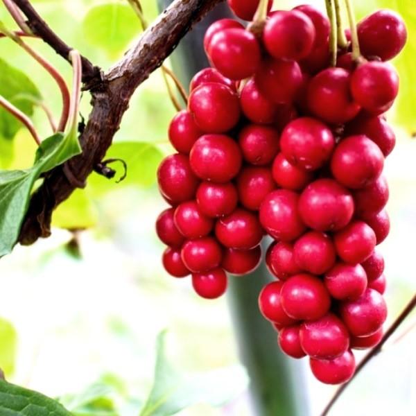 Лимонник китайский - растение вечной молодости выращивание и уход
