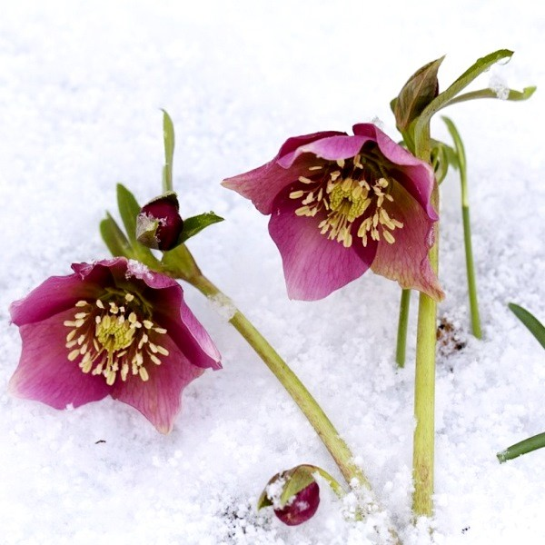 Морозоустойчивые цветы, которые цветут до снега