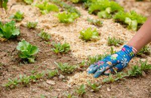 Мульчирование экономит труд, время, энергию и улучшает качество почвы