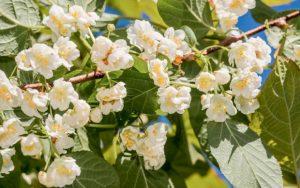 Выращивание актинидии - только женские лозы дают плоды