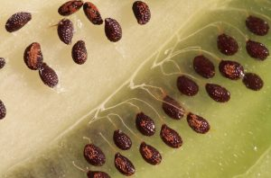 Выращивание киви из семян в домашних условиях