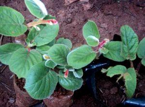 Выращивание киви из семян - посадка