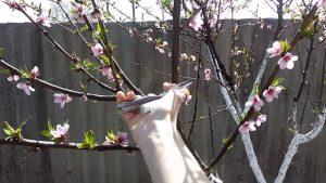 Как обрезать миндальное дерево?