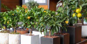 Где лучше выращивать цитрусовые