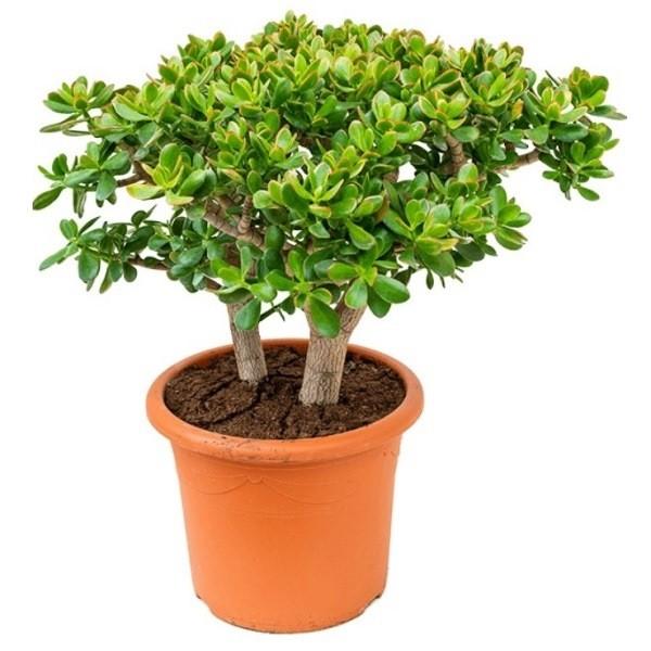Денежное дерево (Толстянка) - растение которое приносит деньги