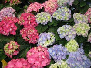 Цветовые вариации гортензий