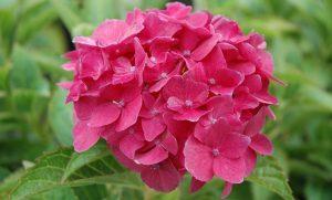Когда цветут гортензии