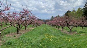 Обрезаем абрикосы и персики весной и летом