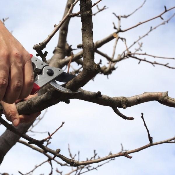 Календарь обрезки фруктовых деревьев: что нужно обрезать прямо сейчас?