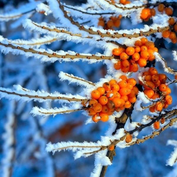 Красивые растения для сада зимой