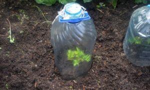 Пластиковая бутылка как мини-теплица