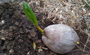 Проращивание кокоса