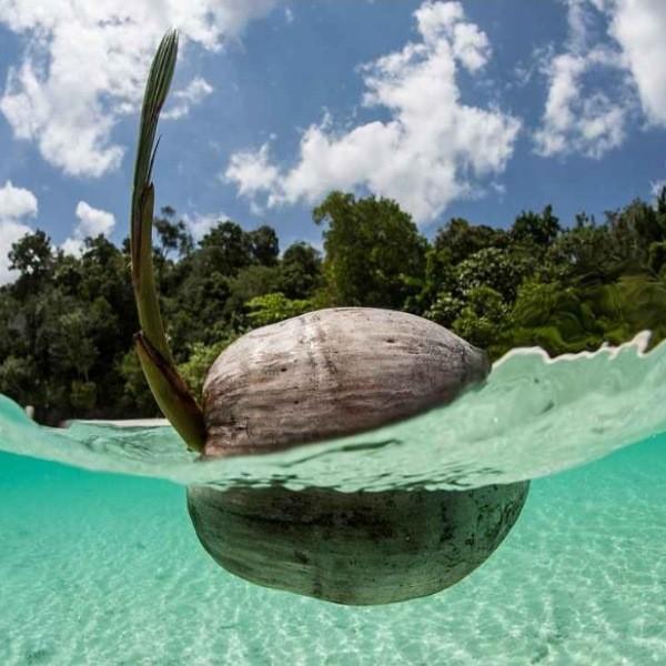Попробуйте вырастить кокос в домашних условиях