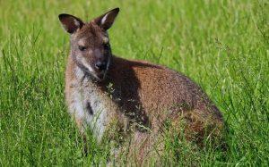 Разведение кенгуру