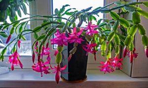 Рождественник (Декабрист) - выращивание и сроки цветения