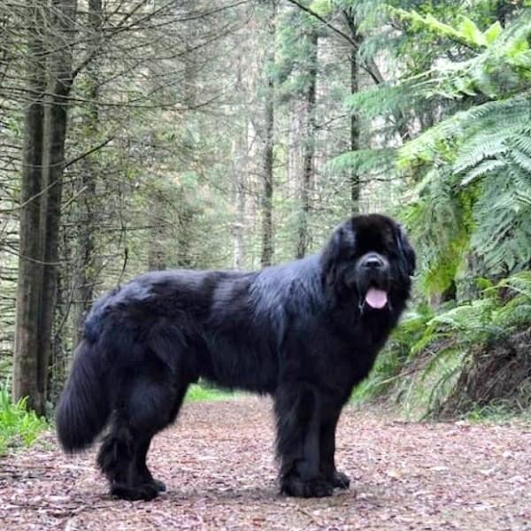 Собака ньюфаундленд - добрый великан