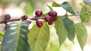 Урожайность кофе