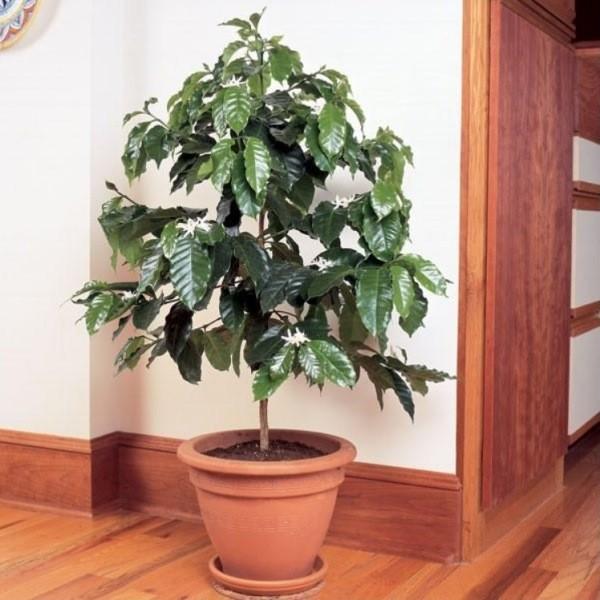 Выращивание кофе в домашних условиях – посадка, обрезка и уход