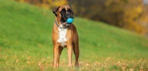 Немецкий боксер - порода собак заслуживающих уважение