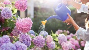 Чем поливать гортензии?