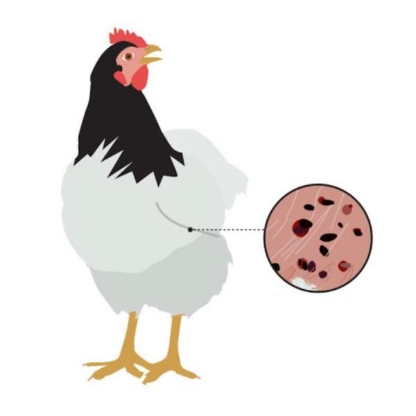 Лечение кур от клеща: профилактические меры