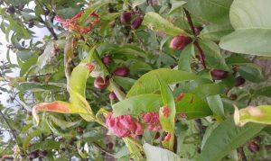 Болезни персиков