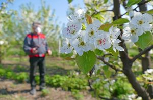 Опрыскивание плодовых деревьев - чем и когда опрыскивать