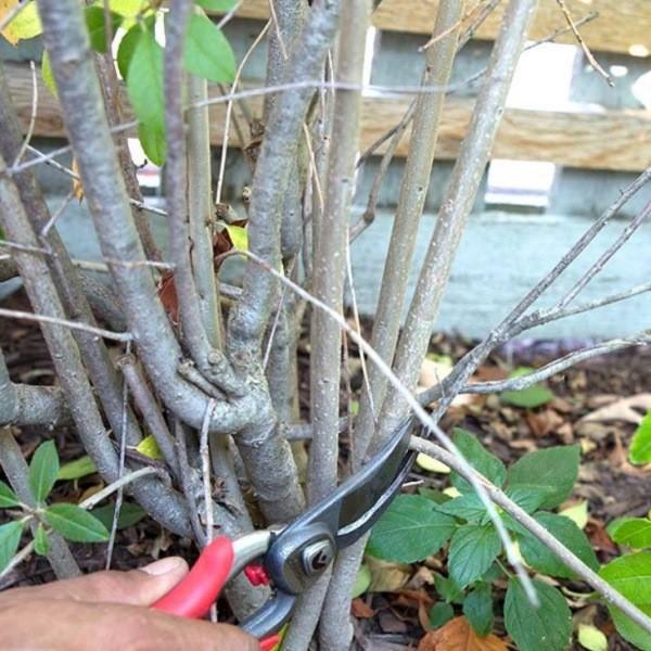 Правильная обрезка плодовых кустов весной