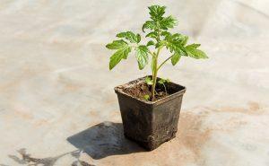 Пикировка молодых растений томатов