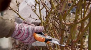 Уход за розами после зимы - что нужно делать