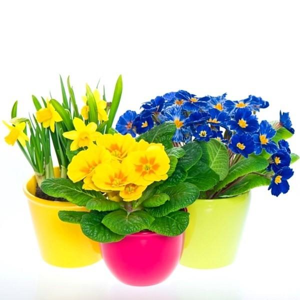 Весенние цветы - правильное выращивание и уход
