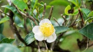 Выращивание чайного дерева в домашних условиях