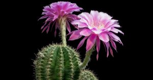 5 советов, как заставить кактус красиво цвести
