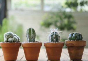 Подготовка кактусов к зиме и весне