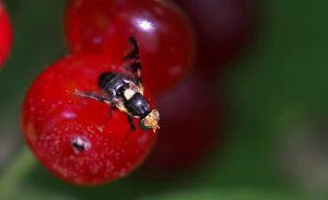 Вредители черешни - вишнёвая муха