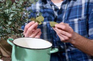 Использование листьев эвкалипта