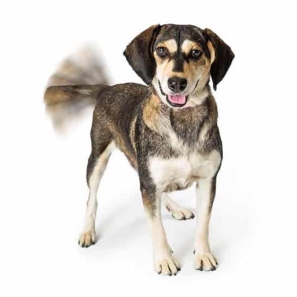 Почему собаки виляют хвостом. Вы знаете настоящую причину
