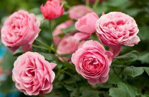 Правильная весенняя обрезка роз, чтобы получить длительное цветение