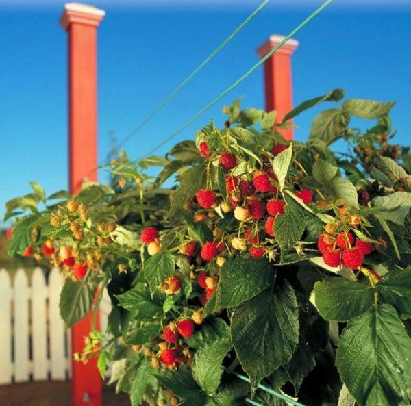 Выращивание малины на шпалере обеспечит вам непревзойденный урожай