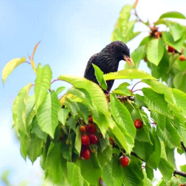 Как выгнать из сада скворцов и других птиц