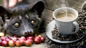 Кофе Копи-лувак - самый дорогой кофе в мире