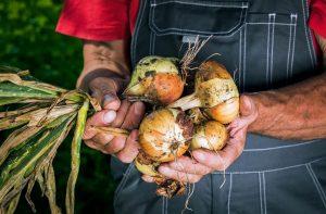 Как предотвратить болезнь урожая лука?