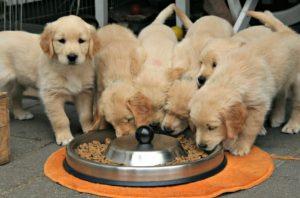 Когда кормить щенков