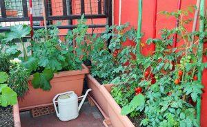 Выращивание помидоров, перцев и огурцов на балконе