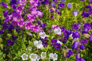 Уход за двулетними цветами