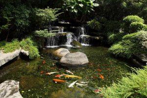 Карпы кои - как выбрать для садового пруда