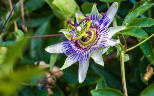 Цветок страсти - Маракуйя
